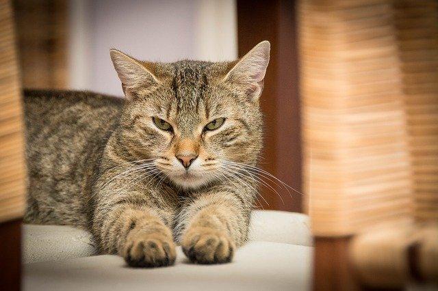 ležící domácí kočka