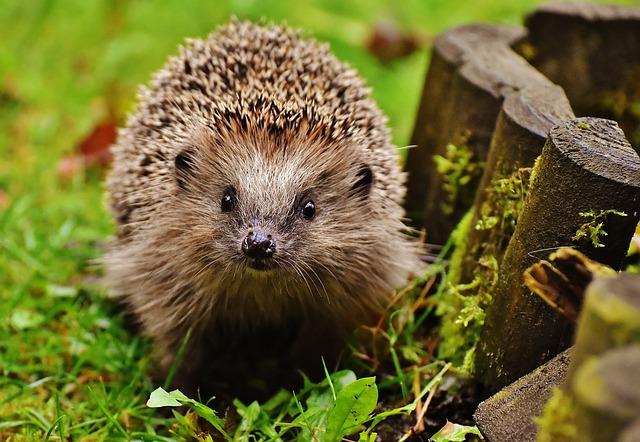 mladý ježek