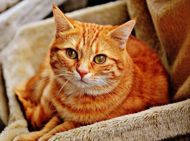 zelenooká zrzavá kočka