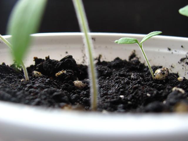 mladé rostlinky rajčat.jpg